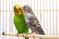 Papegaaien Royalty-vrije Stock Afbeelding