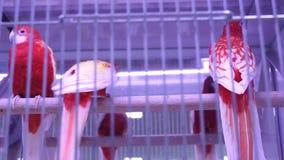 Papegaaien stock footage
