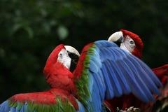 Papegaaien Stock Afbeeldingen