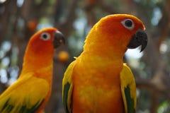 Papegaaien royalty-vrije stock foto