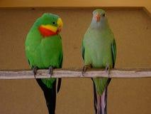 Papegaaien buitengewoon mannetje een wijfje royalty-vrije stock afbeelding
