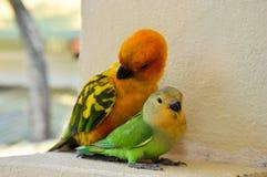 Papegaaien in de Maldiven 11 Royalty-vrije Stock Foto's