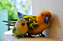Papegaaien in de Maldiven 10 Stock Foto