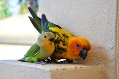 Papegaaien in de Maldiven 9 Stock Fotografie