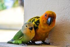 Papegaaien in de Maldiven 6 Stock Foto