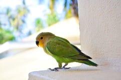 Papegaaien in de Maldiven 2 Stock Fotografie