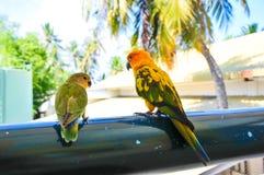 Papegaaien in de Maldiven 2 Royalty-vrije Stock Afbeelding