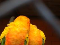 """Papegaaien Dwergpapegaaien†""""bewegende papegaaien van kleine grootte Geeloranje heldere kleur Zit op de haard samen bewapenen in royalty-vrije stock afbeeldingen"""