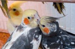 Papegaaien in een kooi royalty-vrije stock fotografie