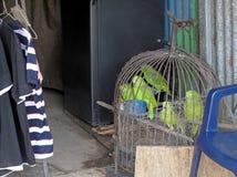 Papegaaien in gevangenschap, voor verkoop, Costa Rica wordt getoond dat royalty-vrije stock afbeeldingen