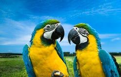 Papegaaien in liefde Stock Foto's
