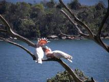 Papegaaien in liefde Stock Foto