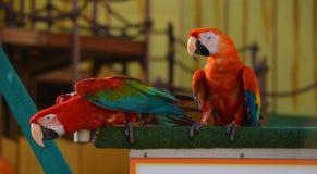 Papegaaien op houten richel worden neergestreken die royalty-vrije stock foto's