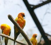 Papegaaien (solstitialis Aratinga) Royalty-vrije Stock Afbeelding