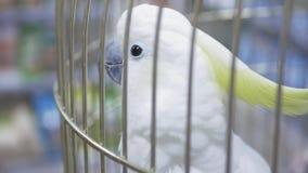 Papegaaikaketoe in een kooi stock footage