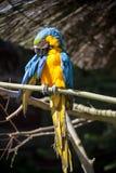 Papegaaiportret van vogel Het wildscène van tropische aard Royalty-vrije Stock Foto's