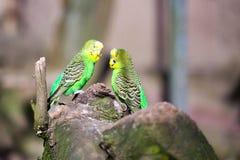 Papegaaiportret van vogel Het wildscène van tropische aard Stock Foto's