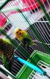 papegoja arkivfoto
