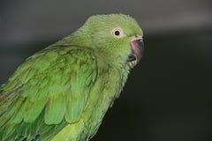 papegoja Arkivfoton