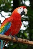 papegoja Royaltyfri Bild