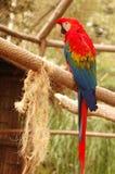 papegoja 3 Arkivfoton