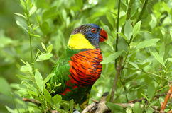 papegoja 4 Royaltyfri Bild