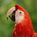 papegoja royaltyfria bilder