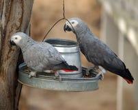 Papegoja africa Royaltyfri Bild