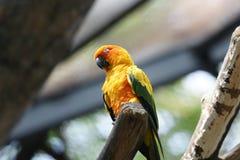 Papegoja (Aratinga solstitialis) Royaltyfria Bilder