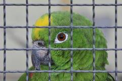 Papegoja bak ett galler fotografering för bildbyråer
