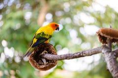 Papegoja färgrik papegoja, arapapegoja, färgrik ara Arkivfoto