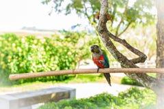 Papegoja färgrik papegoja, arapapegoja, färgrik ara Arkivbild