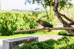 Papegoja färgrik papegoja, arapapegoja, färgrik ara Royaltyfria Foton