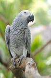 Papegoja för afrikanska grå färger Arkivfoto
