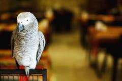 Papegoja för afrikanska grå färger eller Kongoflodenafrikan Arkivfoton