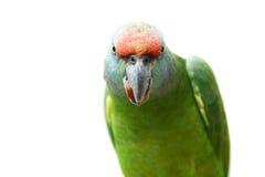 Papegoja för flygfestivalamason på vit arkivfoto