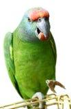 Papegoja för flygfestivalamason på vit royaltyfri fotografi