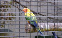 Papegoja i bur royaltyfri fotografi