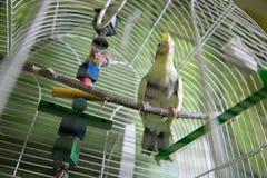 Papegoja i buren arkivbilder
