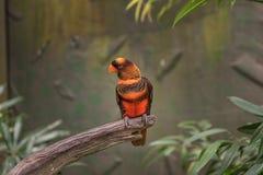 Papegoja i Busch trädgårdar Tampa Bay Florida Arkivfoto