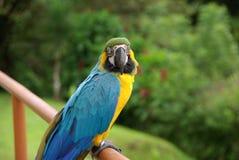 Papegoja i Costa Rica Fotografering för Bildbyråer