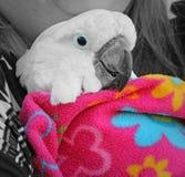 Papegoja i en filt Fotografering för Bildbyråer