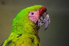 Papegoja i Herberstein, Österrike Arkivfoto