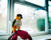 Papegoja i köket arkivbilder