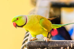 Papegoja i morgonljus Arkivbilder