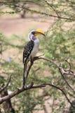 Papegoja med den långa näbb Arkivbild