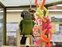 Papegoja med färgrika leksaker Royaltyfri Bild