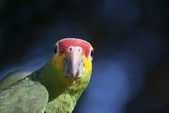 papegoja på bokehbakgrund Fotografering för Bildbyråer