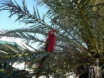 Papegoja på Curacao Royaltyfri Fotografi