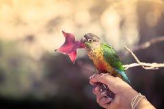 Papegoja på den stickande lönnlövet för kvinnahand Arkivfoton